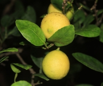 Лимон Key lime - (Citrus Aurantifolia)