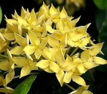Ixora sp.(T01) variegated  yellow flower