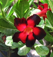 Adenium Double  Color