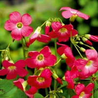 Oxalis deppei 'Iron Cross Reversed'