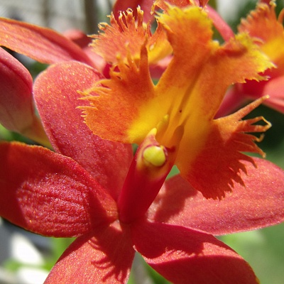 Epidendrum Red